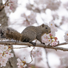 桜とタイワンリス