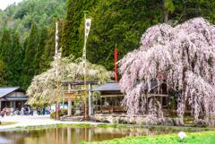 例祭を見守る桜
