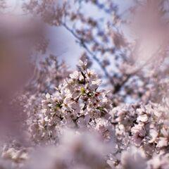 京都の桜(2021年3月) 6
