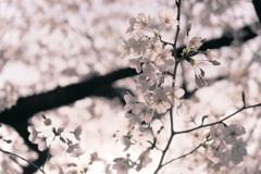京都の桜(2021年3月) 3