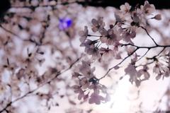 京都の桜(2021年3月) 2