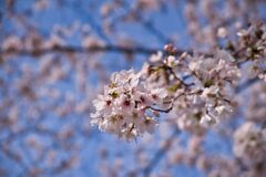 京都の桜(2021年3月) 4
