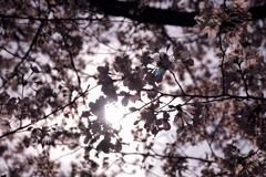 京都の桜(2021年3月) 1