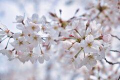 京都の桜(2021年3月) 5