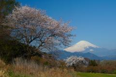 篠窪の桜②