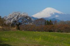 篠窪の桜①