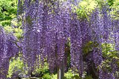 藤の花 奈良 萬葉植物園