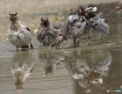 ムクドリ軍団の水遊び
