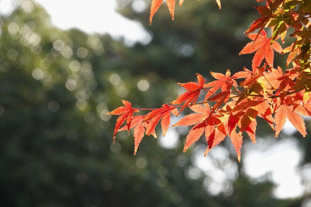 光を透かす紅葉