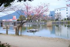 丸田池の桜