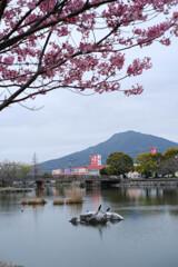 丸田池の桜2
