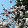 【植物】桃花
