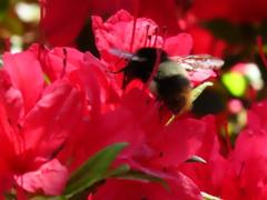つつじと蜂さん