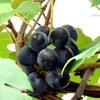今年の葡萄は、、