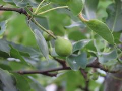 梨の実が「梨」