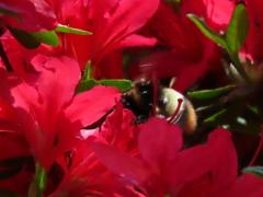 つつじと蜂さん2