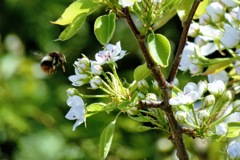 ハチと梨の花