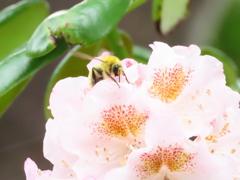 蜂さんとシャクナゲ