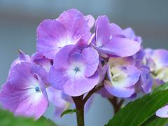 紫陽花の色は涼やかだけど。