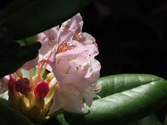 雨が降る前のシャクナゲの花