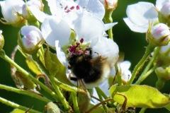 ハチと梨の花3