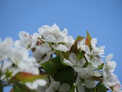 青い空と梨の花