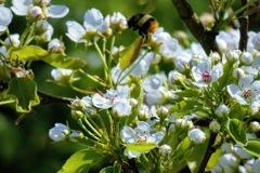 ハチと梨の花2