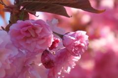 八重に咲く桜