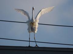 白鷺発見3 羽ばたき
