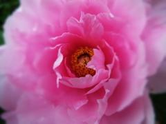 牡丹ピンク