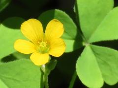 黄色い花のジンクス。