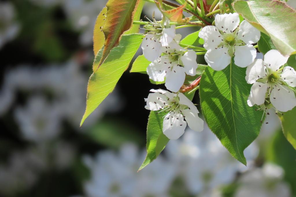 風に舞う梨の花びら