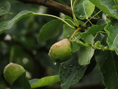 雨上がりの梨の実