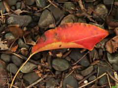 枯れ葉よ〜♪