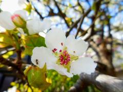 梨の花とアリ