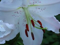 カサブランカが咲いてます。