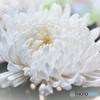菊の花  21-285