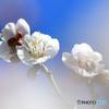 青空と白い梅の花 21-060