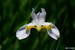 庭に咲いた白いコアヤメの花  21-296