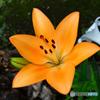 庭に咲いたユリの花  21-447