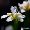 庭に咲いた白いコアヤメの花  21-295