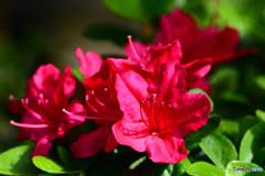 赤いつつじの花   21-233