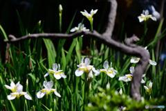 白いコアヤメ花盛り   21-306