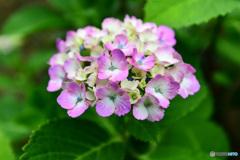 一日で色付きが濃く染まった紫陽花  21-389