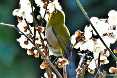 メジ君と梅の花  21-313