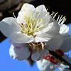 青空と白梅の花  21-077