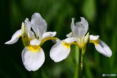 仲良く白コアヤメの花  21-326