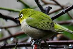 野山の鳥  21-323  メジ君