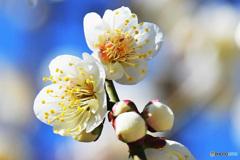 青空と梅の花  21-020