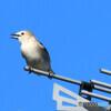 野山の鳥 154